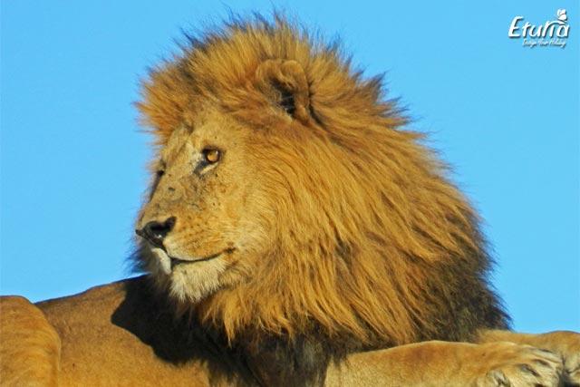 Tanzania Serengeti Leu