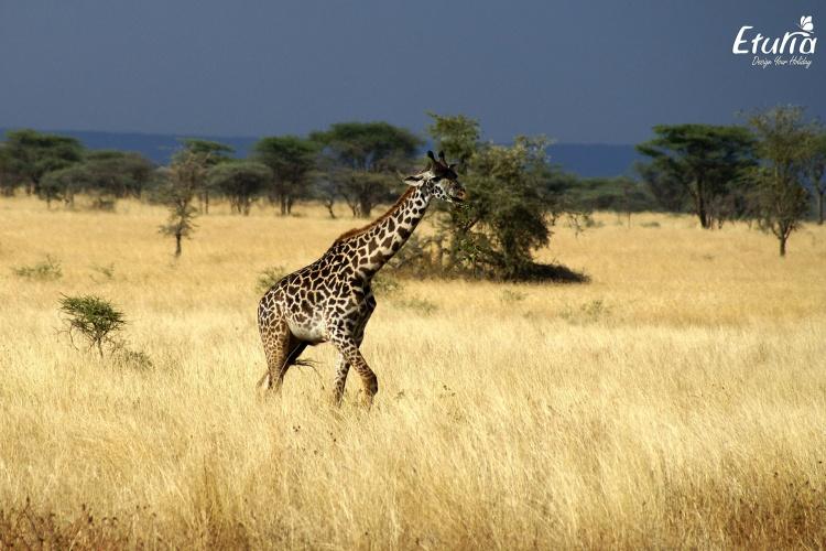Tanzania Serengeti Girafa