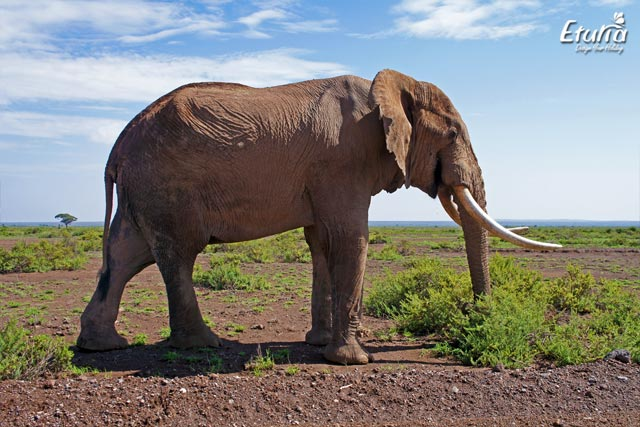 Elefant in Parcul National Amboseli, Kenya.
