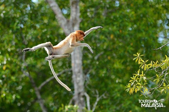 Maimuta Proboscis - Sabah, Malaezia
