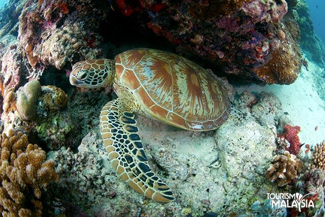 Testoasa Insula Selingaan Malaezia