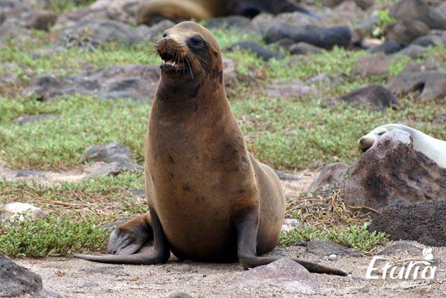 Leu de mare Galapagos