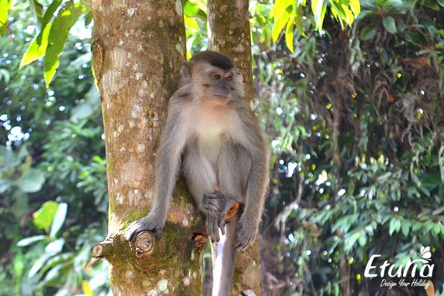 Macac Borneo