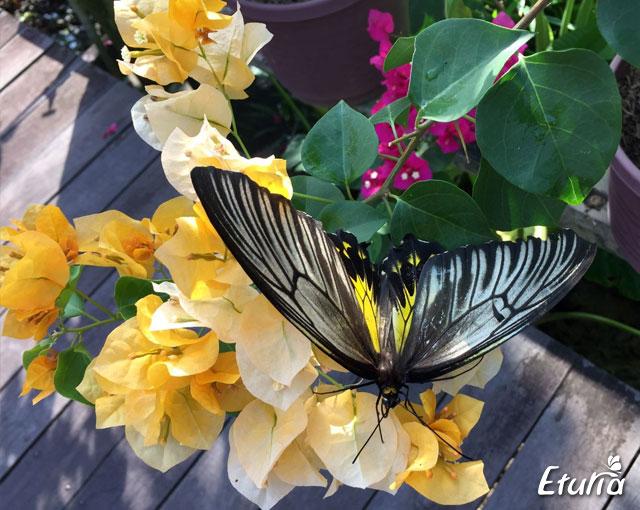 Flori & fluturi Borneo
