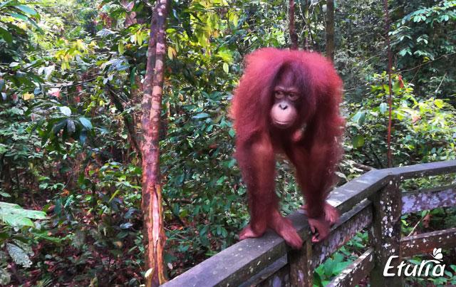 Urangutan Borneo