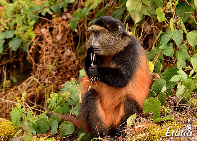 rwanda-monkey