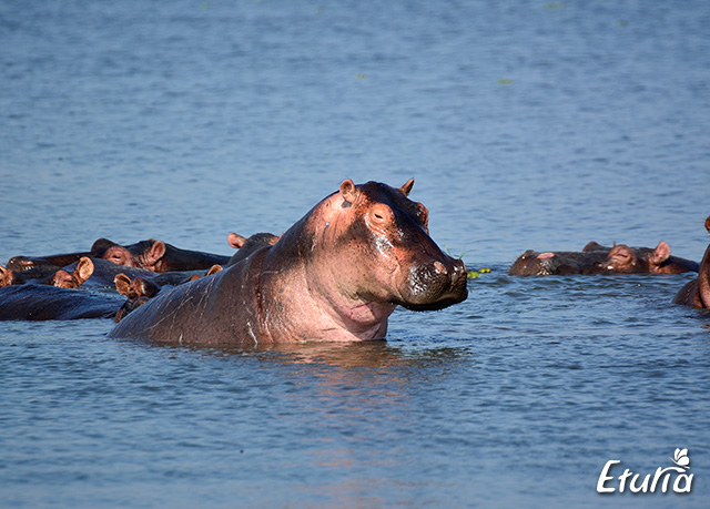 uganda-hippo