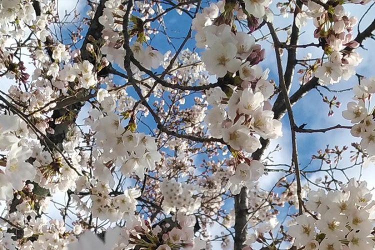 sakura-japonia