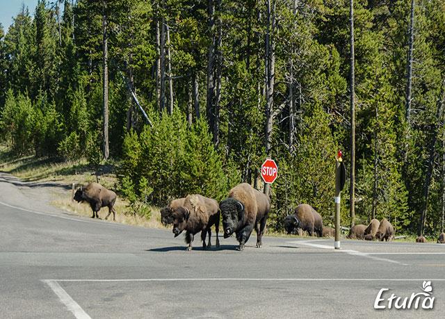 SUA-Yellowstone