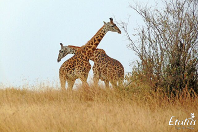 girafe in kenya
