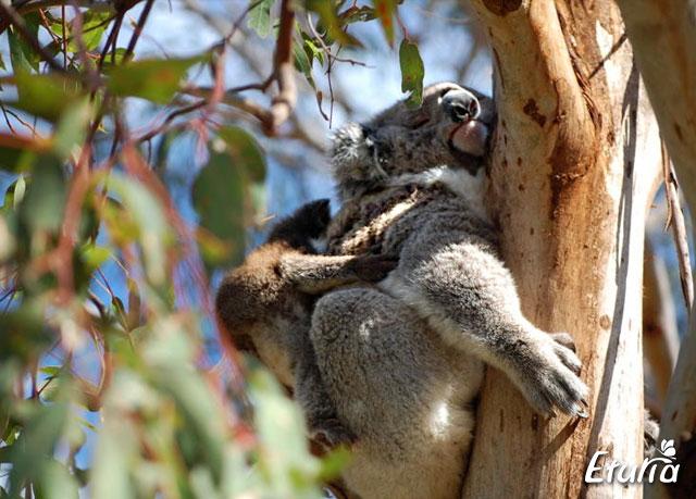 australia koala