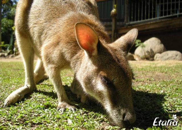 australia cangur