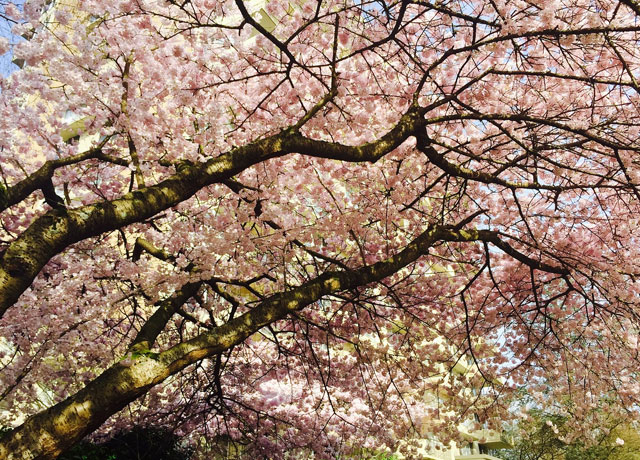 cires inflorit Cherry Blossom Festival Vancouver