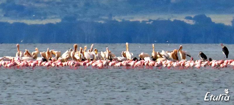 Fauna Lacul Nakuru Kenya