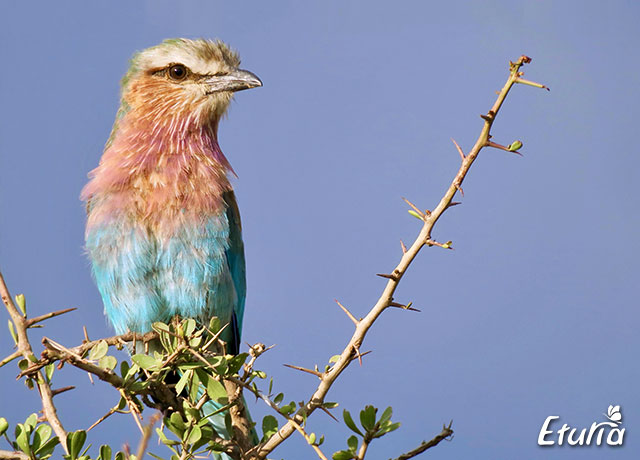 Lilac-breasted roller in Parcul National Lacul Nakuru