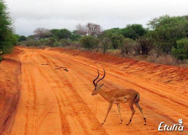 Antilopa Safari Tsavo Est