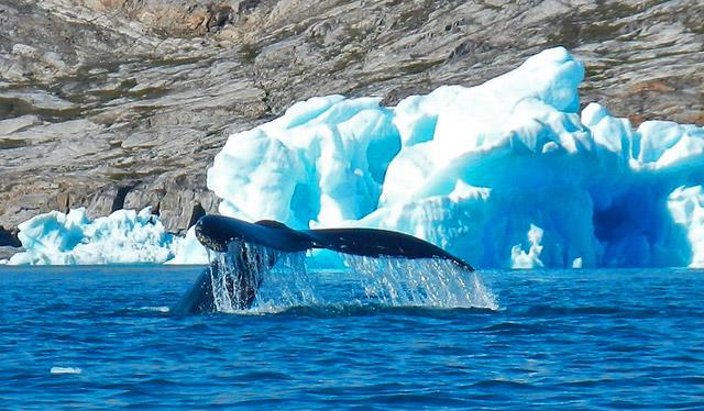 balene-Groenlanda