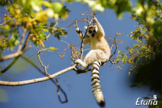 Un lemur se uita curios la turisti