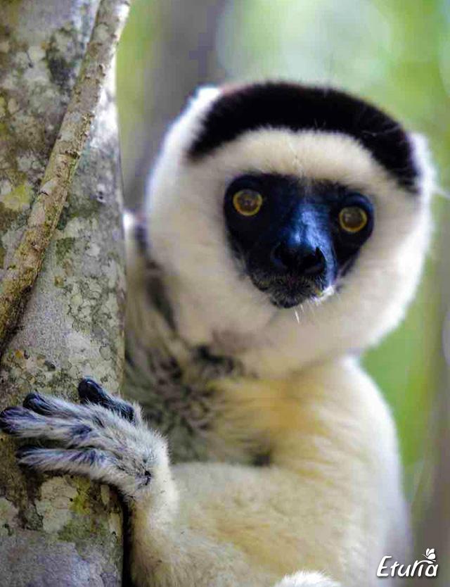 Lemur in Parcul National Zombitse