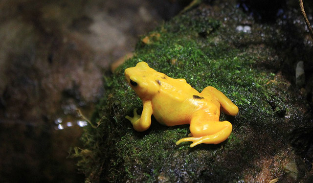 Broasca Golden, Panama