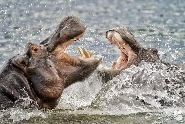 Hipopotami pe Raul Kwando