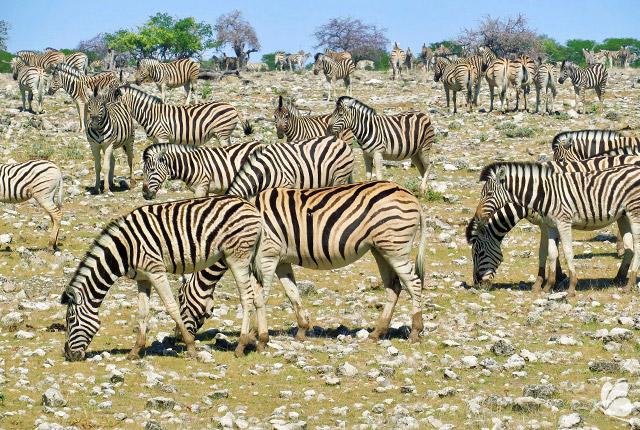 Zebre in Parcul National Etosha