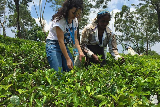 La plantatiile de ceai