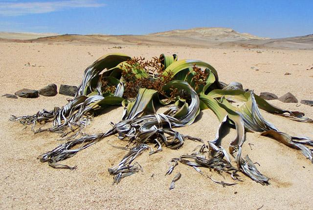 Welwitschia, planta-simbol a Namibiei