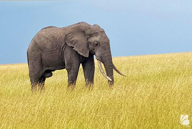Rezervatia Nationala Masai Mara