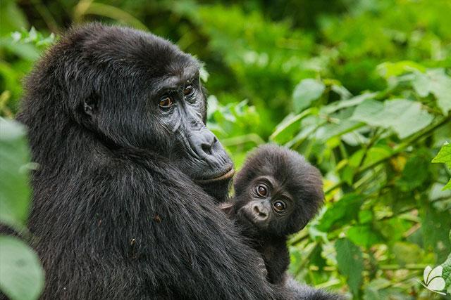 Gorile in Parcul National Bwindi
