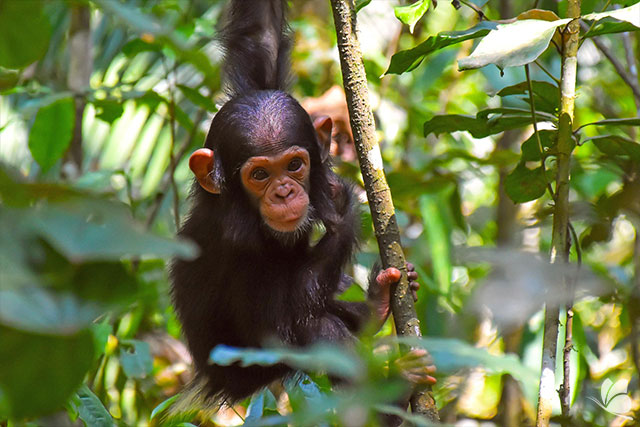 Cimpanzeu in Parcul National Kibale