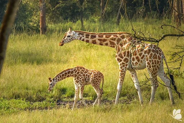 Girafe in Parcul National Lacul Mburo